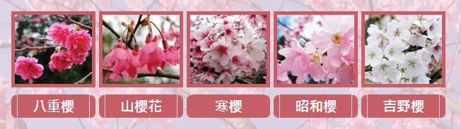 台北賞櫻情報站
